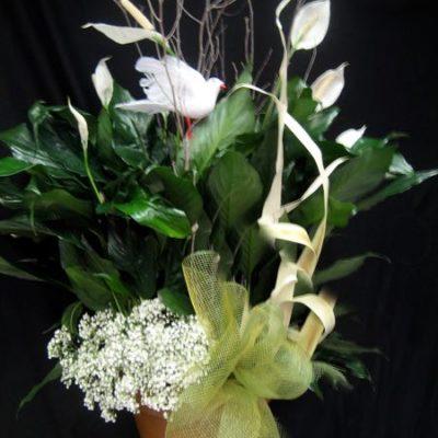 Plante fleurs blanches. Un signe de Paix ! PF-2