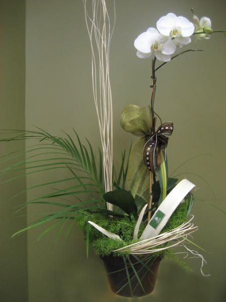Plante orchidée fleuri. L'impeccable ! PF-10