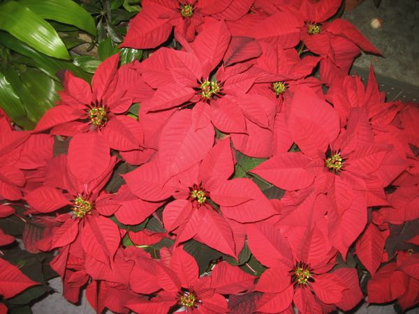 Poinsettia rouge de Noël ! NOP-2